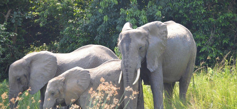 Murchison falls elephants