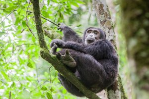 Male chimp in Kibale