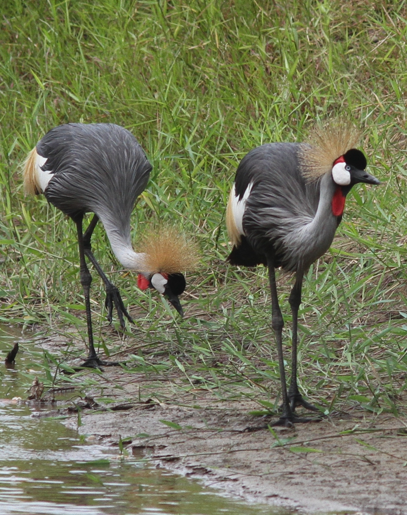 Amazing birding experience in Murchison Falls National Park Uganda