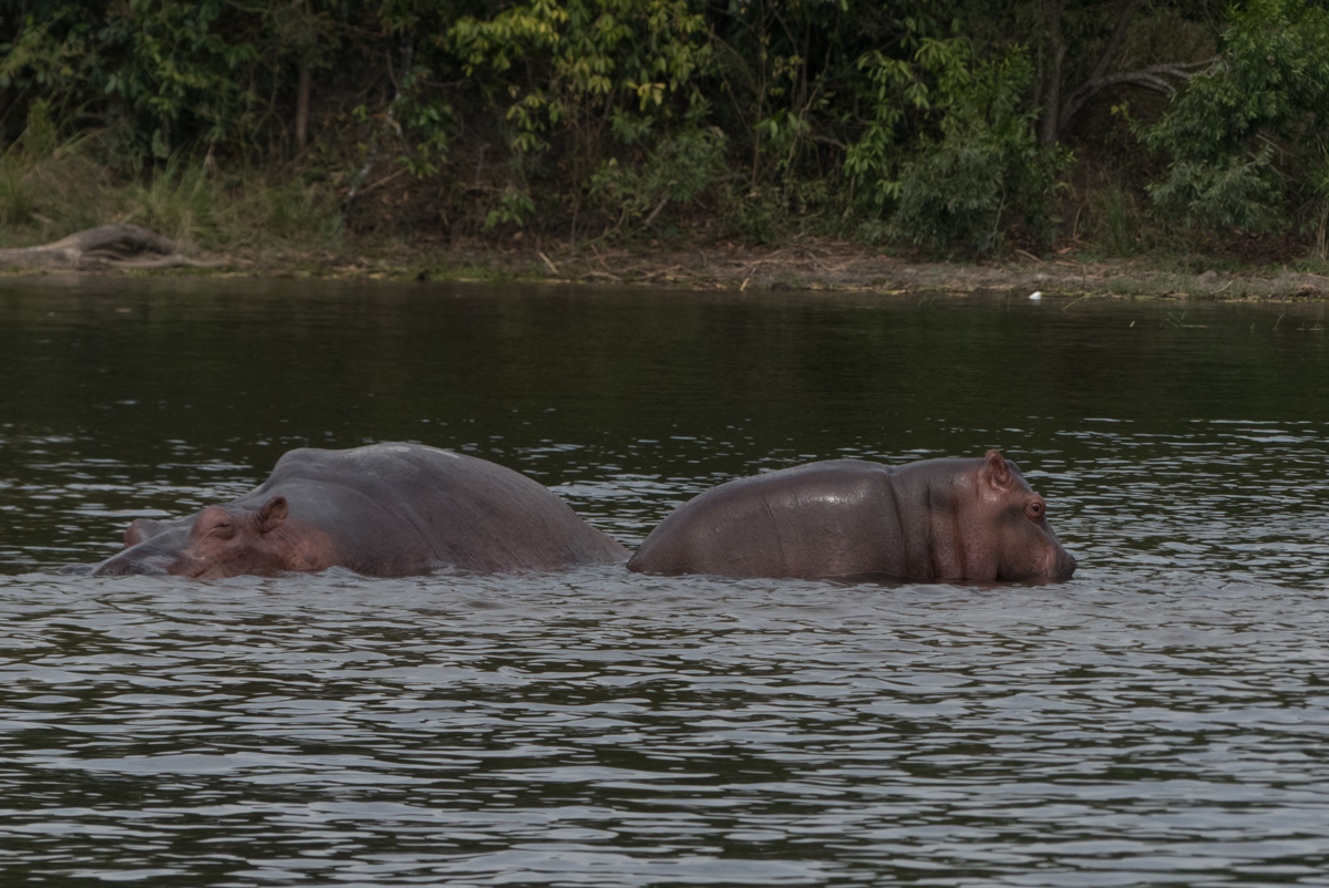 Hippo watching in Murchison Falls National Falls Uganda